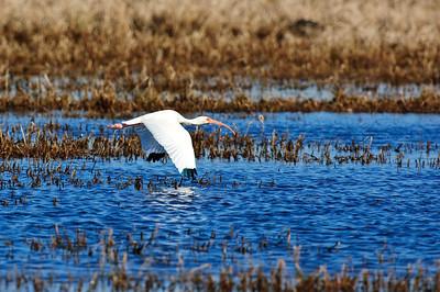 White Ibis-130