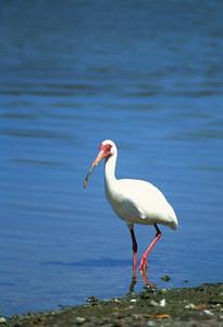 White Ibis-104
