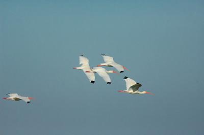White Ibis-147