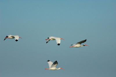 White Ibis-146