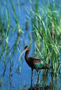 White-faced Ibis-101