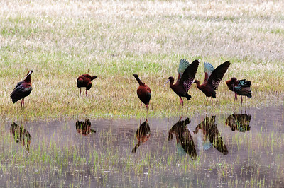 White-faced Ibis-163