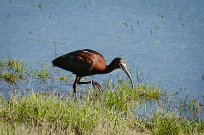 White-faced Ibis-169