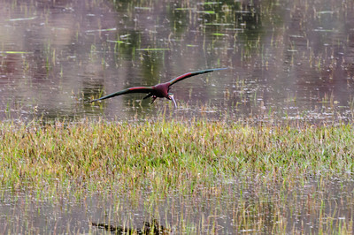 White-faced Ibis-146