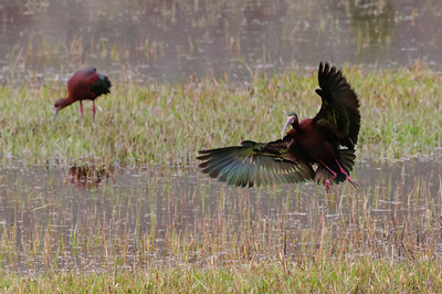 White-faced Ibis-148