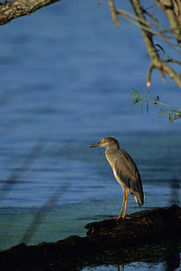 Yellow-crowned Night Heron-103