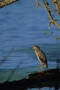 Yellow-crowned Night Heron-103