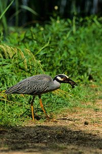 Yellow-crowned Night Heron-104