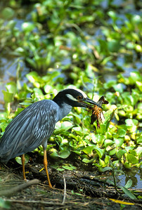 Yellow-crowned Night Heron-101