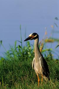 Yellow-crowned Night Heron-107