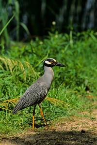 Yellow-crowned Night Heron-106