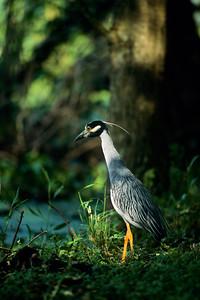 Yellow-crowned Night Heron-102