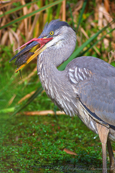 Great Blue Heron<br /> Ithaca, NY