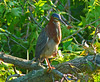 Green Heron, Huntley Meadows Park, VA, 7-2-12