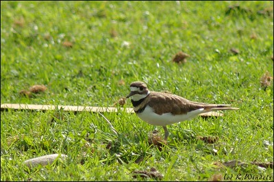 Killdeer in farm field