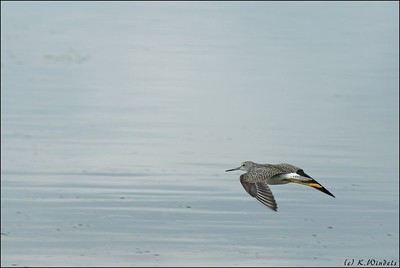 Greater Yellowlegs @ Astotin Lake, Elk Island National Park