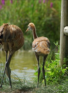 One month old Sandhill Crane with parent