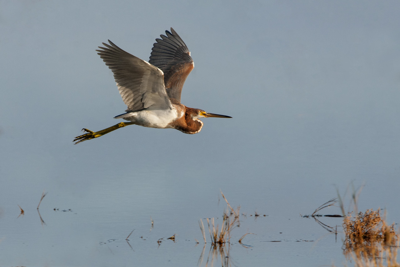Tri-Colored Heron in Flight