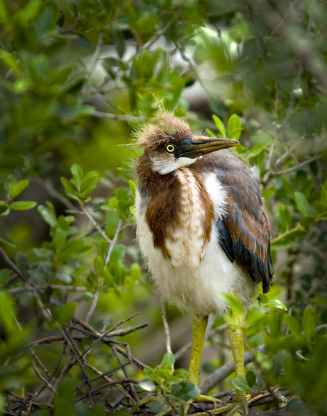 Tri-Colored Heron Chick