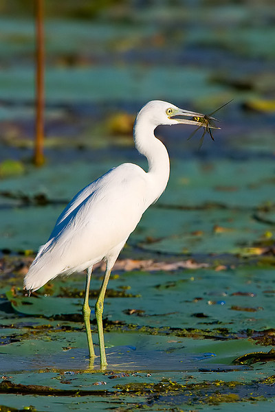 Egret with dragonfly