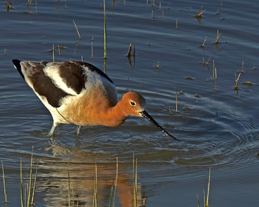 American Avocet feeding Bear River Migratory Bird Refuge.