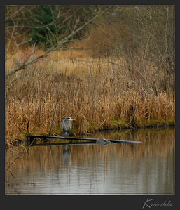A Great Blue Heron reflects on the events of 2005. Something tells me he isn't making any New Year's resolutions.