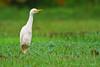 Cattle Egret<br /> Parque Nacional Corcovado, Costa Rica