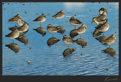 Dowitchers  (?)