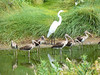 Great Egret and a flock of immature White Ibis