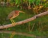 Green Heron<br /> Ithaca, NY