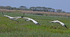 Whooping Cranes take off