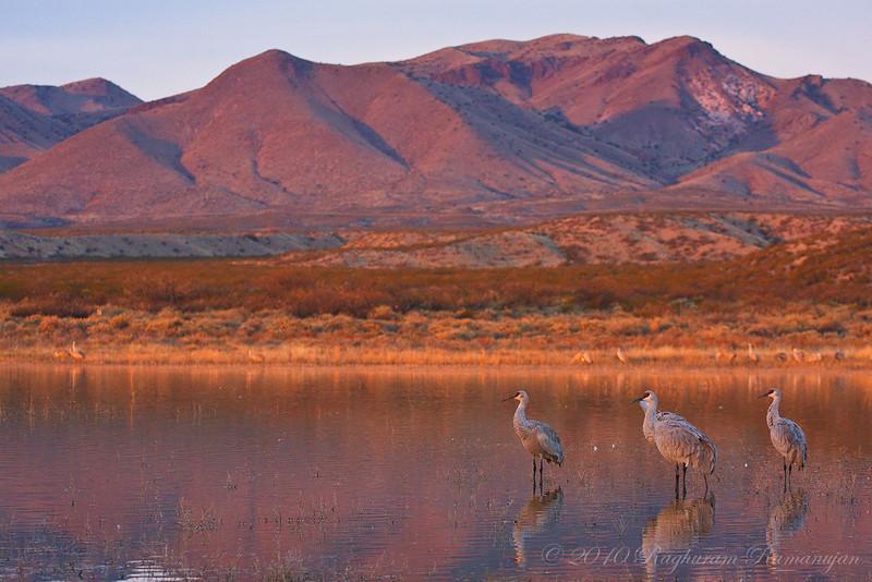 Greater Sandhill Cranes<br /> Bosque del Apache, NM