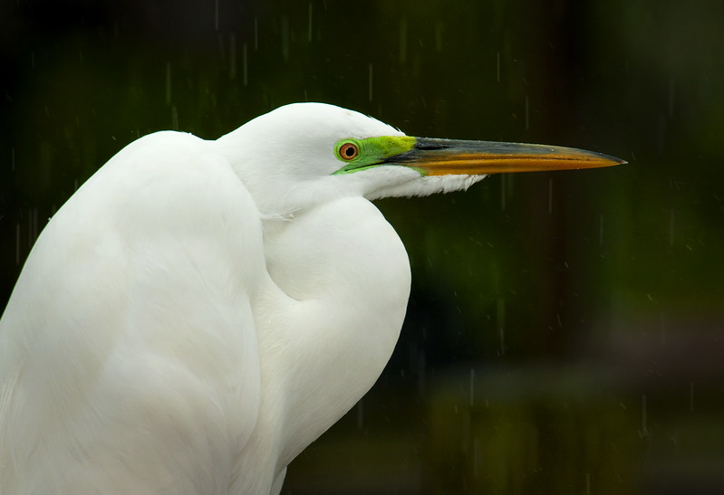 Great Egret in Mating Plumage in the Rain