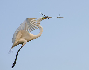 Great Egret in Flight with Nesting Materiel
