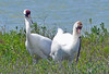 Whooping Cranes and a snake