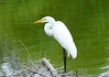 Great Egret, Claude Moore Park, Loudoun County, VA, 7-24-11