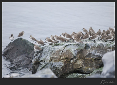 It's 8am on a dreary Saturday morning, but since it's not actively raining I make the required trip over the wall at the ferry terminal. At first I thought I was hearing sounds from some birds further out on the water, but after taking another few steps I found myself staring down at a rather large flock of little peeps. Dunlin to be precise.