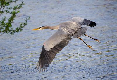 2016-04-06 - Great Blue Heron