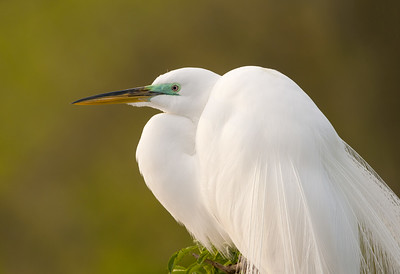 Great Egret in Mating Plumage