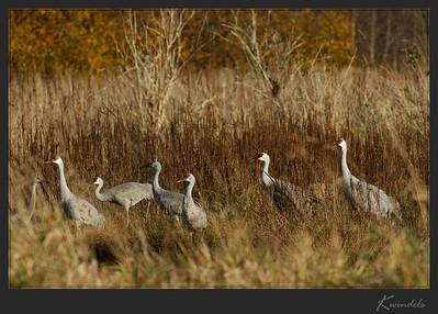 Sandhill Crane families