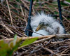 This newly hatched Great Egret chick was just resting on the shell of it' soon to be born sibling.