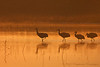 Greater Sandhill Cranes<br /> Bosque del Apache, NM