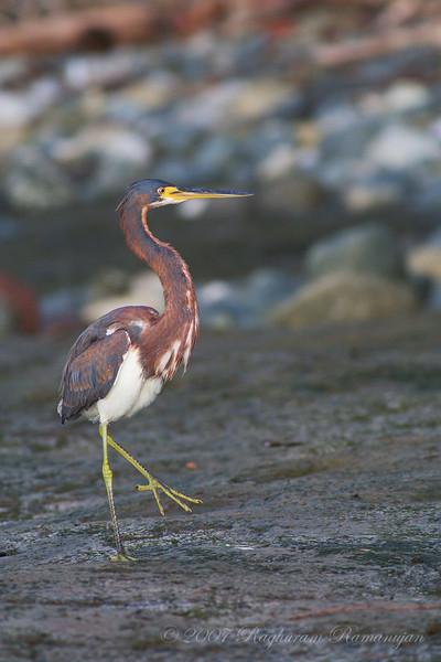 Tricolored Heron<br /> Parque Nacional Corcovado, Costa Rica