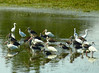 White Ibis Flock with Immature Little Blue Heron and Snowy Egret