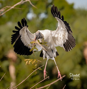Wood stork nest building