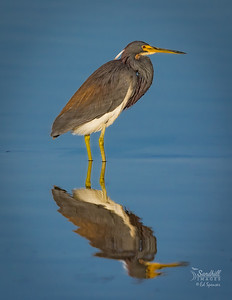 Tricolored heron and reflection
