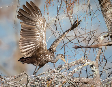 Limpkin landing in a tree