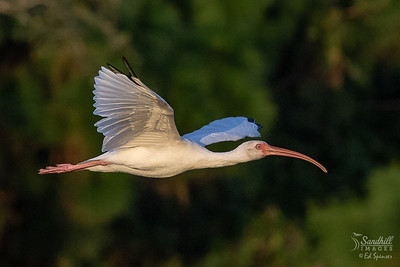 White ibis at end of day