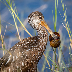 Limpkin with the prize