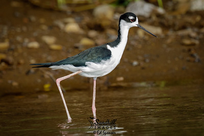 Black-necked stilt, Costa Rica